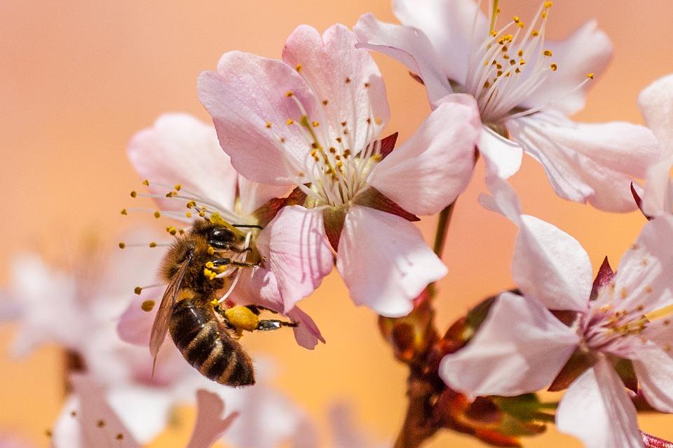 western-honey-bee