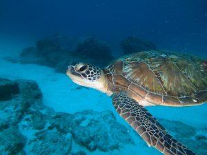 green turtle sodwana bay