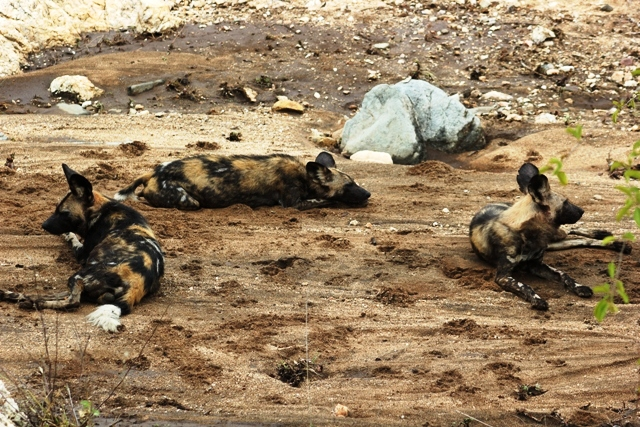 painted-dogs-resting