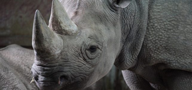 The perpetual debate on the trade of rhino horns