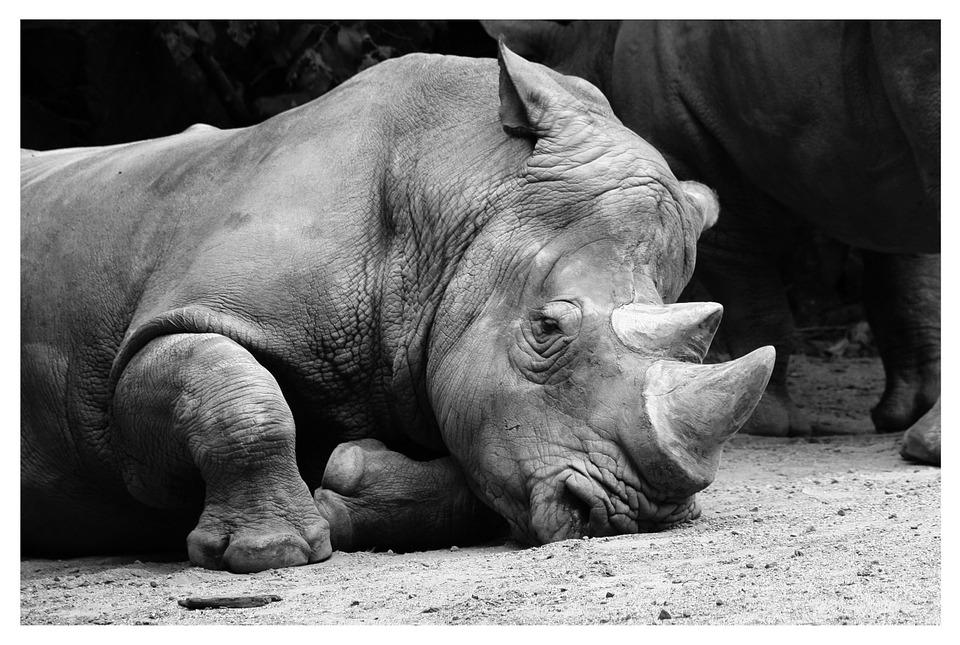rhino-in-captivity