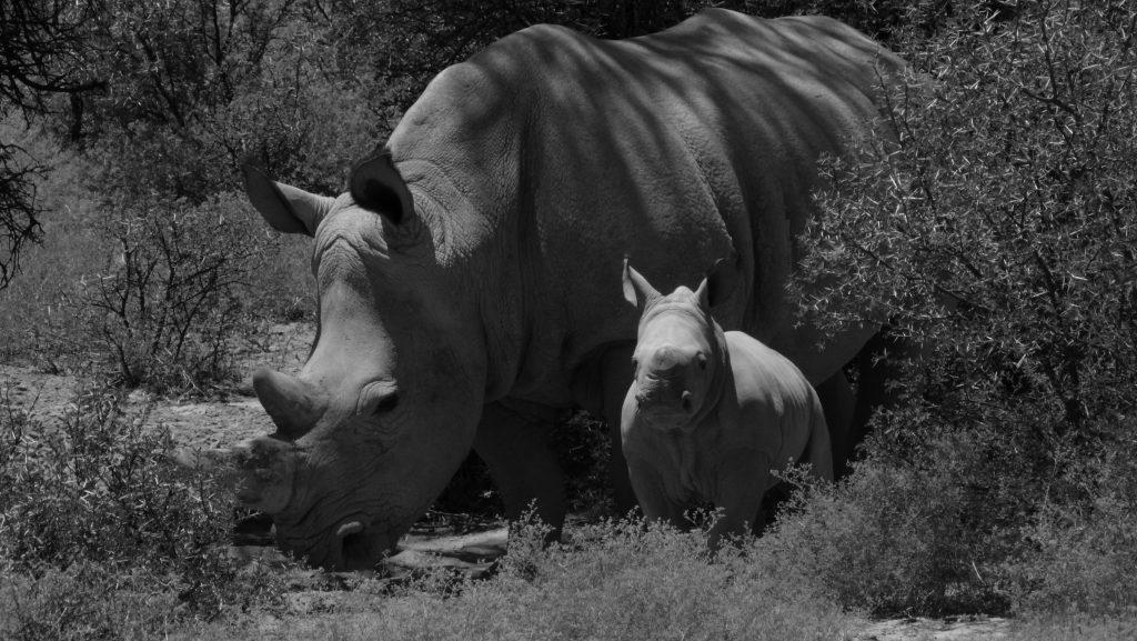 rhino-mother-and-calf