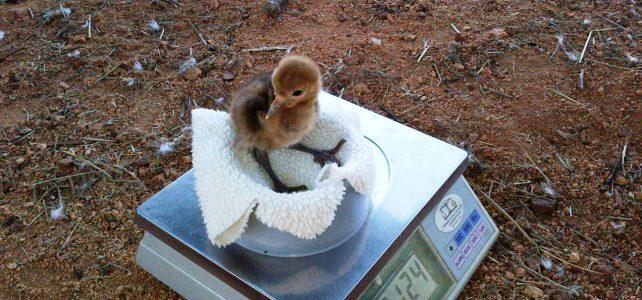 wattled-crane-chick