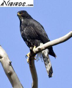 blacks sparrowhawk